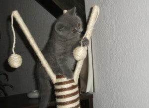 Am Kratzbaum angebrachtes Spielzeug ist super zum Tollen
